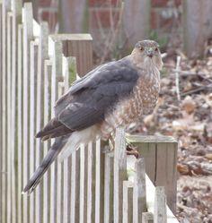 Peregrine falcon  in my yard! :)