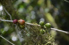 Wilder Coffea Arabica - natur pur