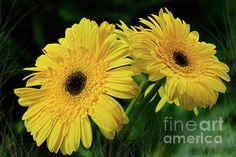 #Yellow #Gerbera Daisies by #Kaye_Menner #Photography Quality Prints Cards Products at: http://kaye-menner.pixels.com/featured/yellow-gerbera-daisies-by-kaye-menner-kaye-menner.html