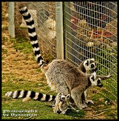 Baby Ring-Tailed Lemur on the Ground