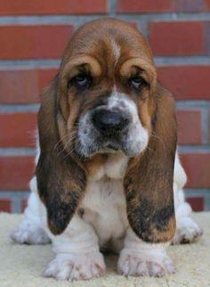 Grumpy cat don't got nothin on me Basset Hound Puppie Basset Puppies, Hound Puppies, Basset Hound Puppy, Cute Puppies, Cute Dogs, Dogs And Puppies, Doggies, Beagles, Sweet Dogs