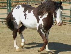 All The Pretty Horses, Beautiful Horses, Animals Beautiful, Adorable Animals, American Paint Horse, Horse World, Horse Quotes, Horse Pictures, Horse Breeds