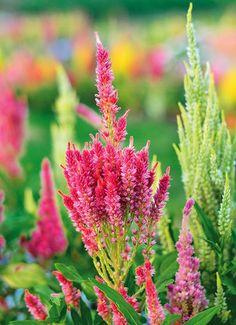 Ogród przed domem – jesienne kwiaty. Celozje #jesień #kwiaty #ogród #pomysły #inspiracje #jesienne #kwiat #dom  #garden #ideas #flowers #autumn #green #colors