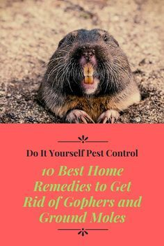 How To Get Rid Of Gophers And Ground Moles Naturally Getting Rid Of Gophers Organic Gardening Pest Control Garden Pests