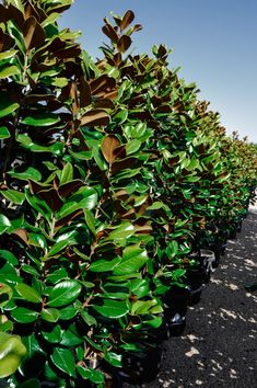 Magnolia grandiflora 'Teddy Bear' from Melbourne wholesale advanced plant nursery, specialising in advanced and semi-advanced container grown plants, trees & shrubs. Hedges Landscaping, Garden Hedges, Garden Trees, Landscaping Ideas, Garden Plants, Hedging Plants, Privacy Plants, Magnolia Gardens, Magnolia Trees