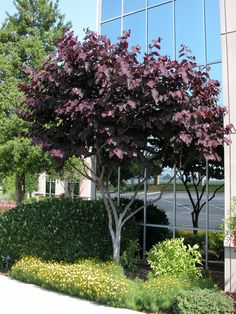 Cercis canadensis 'Forest Pansy' - Beautiful landscape tree valued for its brilliant scarlet-purple color to new foliage, maturing to maroon. Rosy-pink flowers on bare branches bridge the gap between winter and spring! Deciduous.  20' tall x 30' wide