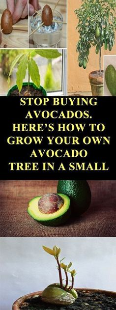 Avocados are extremely healthy fruits, with a delicious taste and pear-like shape. This nutritious fruit tends to be seasonal so the cold weather and the frost can easily destroy it.