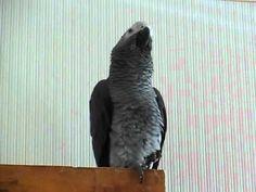 African Grey Parrot Talking Little Miss Casper