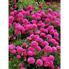 Tarhalaukkaneilikka Garden Inspiration, Trees To Plant, Garden Plants, Planting Flowers, Seeds, Nature, Beautiful Roses, Yard, Sun