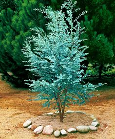 Eucalyptus - Boom Eucalyptus gunnii   De takken van deze gomboom zijn ook mooi in een boeket! De eucalyptus is een boom die snel kan groeien. Het blad van de Gomboom (Eucalyptus gunnii) heeft een fraaie zilverblauwachtige kleur en geurt heerlijk aromatisch. Ook in de winter behoudt de eucalyptus haar blad. U kunt dus het hele jaar van de eucalyptus genieten. De gomboom kan uitgroeien tot een boom of tot een heester, afhankelijk of u de top uit de jonge boom snoeit of niet. Leveringshoogte…