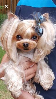 Yorkie Puppy, Cute Cats And Dogs, Cute Dogs And Puppies, Baby Dogs, Pet Dogs, Teacup Yorkie, Teacup Puppies, Yorshire Terrier, Dog Grooming Styles