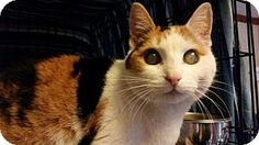 7/11/16 Special Needs! Pictures of Belinda *Blind* a Domestic Shorthair for adoption in Philadelphia, PA who needs a loving home.