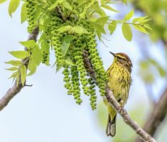 Palm Warbler Photograph by Wes Iversen