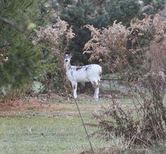 Piebald Deer | PIEBALD DEER | Flickr - Photo Sharing!