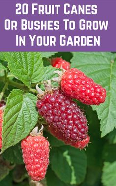 Veggie gardens 723038915164668858 - Enjoy an endless supply of delicious fruits and berries with these fruiting canes and bushes. Source by dogwoodsanddandelions Fruit Bushes, Fruit Plants, Fruit Garden, Edible Garden, Berry Plants, Flower Plants, Veggie Gardens, Flower Gardening, Diy Flower