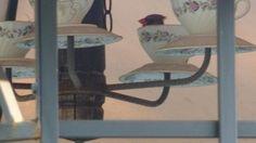 Mamma Cardinal made a nest in teacup chandelier