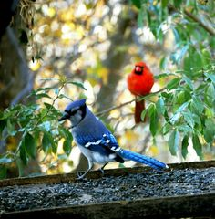 Blue Jay and the Cardinal - JPG Photos .... reminds me of our yard in winter... the birds really bring joy to the cold months here...