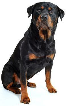 Rottweiler, although I'm sure I'll never be allowed to get one, love these dogs!