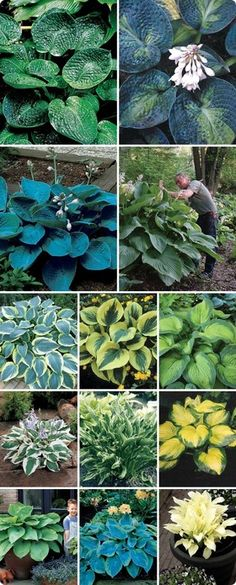 Complete Hosta Collection, love these plants. (So do the slugs & snails)! They are fairly low maintenance Hosta Plants, Shade Perennials, Shade Plants, Garden Plants, Fruit Garden, Flowers Perennials, Outdoor Plants, Outdoor Gardens, Horticulture