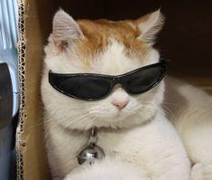 Cute Cat Memes, Cute Animal Memes, Cute Love Memes, Funny Cats, Funny Animals, Cute Animals, Cat Sunglasses, Cat Aesthetic, Spirit Animal