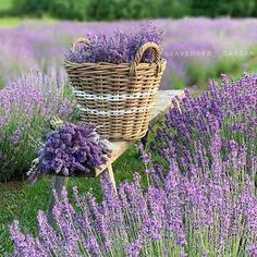 Gardening is a subject that sometimes scares people away, simply because they don't feel confident enough to create a beautiful home garden. The thing about gardening though is that if you gradually learn and apply as much knowledge a Lavender Cottage, Lavender Garden, Lavender Fields, Lavender Color, Lavender Flowers, My Flower, Purple Flowers, Beautiful Flowers, Lavander