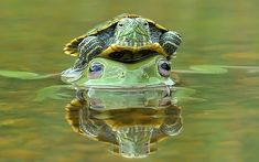 A frog has been snapped with a terrapin hitching a ride on its head in Padang, Indonesia.