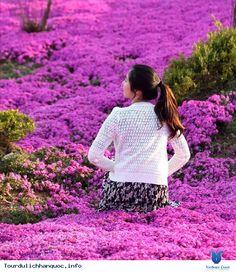 DA LAT Khi những tán hoa anh đào bắt đầu lụi tàn là lúc những khóm hoa đỗ quyên 30-40 tuổi nở tím rực ở Hàn Quốc. Xem thêm: http://tourdulichhanquoc.info/hoa-do-quyen-nhuom-mot-mau-tim-mong-mo-cac-trien-doi-o-han-quoc-pn.html