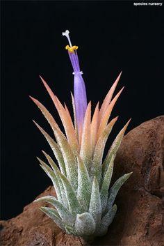 Ionantha Peach' Via Cacti And Succulents, Planting Succulents, Cactus Plants, Planting Flowers, Unusual Flowers, Rare Flowers, Outdoor Plants, Air Plants, Silver Plant