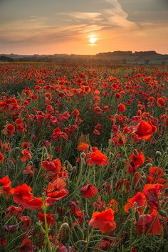 A red poppy field in Tisbury, Wiltshire, England. Picture: Noel Coates of Ringwood, Hampshire
