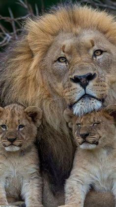 chats sauvages, le monde des lions, père lion avec deux lionceaux