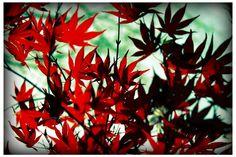 Japanese Maple, MA, 2011