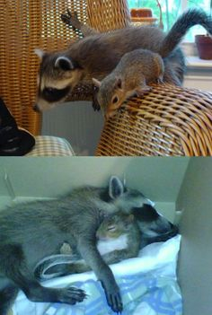 Raccoon and squirrel friends