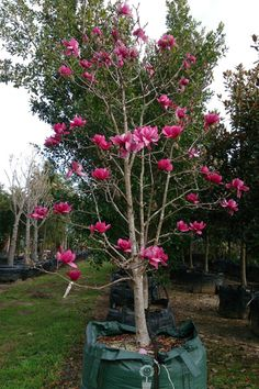 Magnolia(Deciduous) - - We sell semi-mature and mature Magnolia Vulcan Backyard Inspiration, Courtyard Entry, Plants, Lilac, Garden Trees, Backyard, Magnolia, Front Yard, Gorgeous Gardens