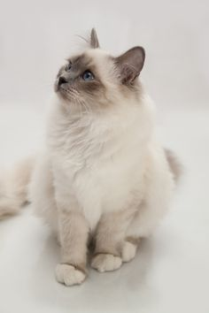 Birman cats are so beautiful and friendly, with a sweet meow...they all have four white feet.