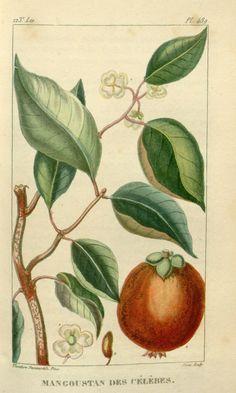 Mangoustan des celebes. Flore médicale des Antilles ct. 7 Paris :Pichard,1821-1829.   Biodiversitylibrary. Biodivlibrary. BHL. Biodiversity Heritage Library