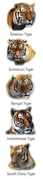 physical description tigers are the biggest cats in the world they ...
