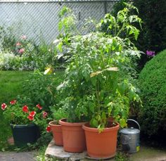 Growing tomatoes in containers   *Plant 3 or 4 marigolds with each tomato to help keep bugs away.
