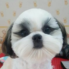 Shih Tzus love to try new do's!