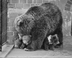 Mothering Bear Watching Over Her Three Cubs Vintage 8x10 Reprint Of Old Photo