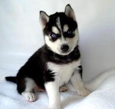 husky siberiano cachorro - Buscar con Google
