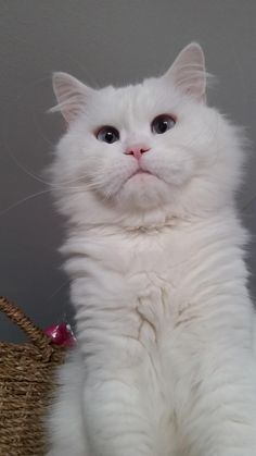 My cat is looking extra fluffy today :) - Imgur