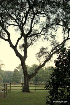 live oak ~ Ocala, Florida