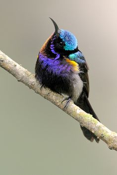 Leptocoma calcostetha - cudonektarnik zielony - Copper-throated Sunbird