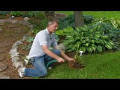 Another video tutorial on digging and dividing a hosta. This technique is a bit different in that it suggests removing as much soil as possible as well as cutting off foliage, while others have shown trying to keep as much soil intact as possible. Jury is out on which works better.