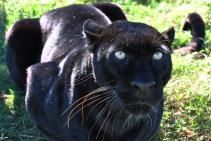 Black panthers in Asia and Africa are leopards and black panthers in the Americas are black jaguars. A black panther is the melanistic color variant of any Panthera species. Black Panthers, Unusual Animals, Animals Beautiful, Animals And Pets, Cute Animals, Wild Animals, Animal Totems, Here Kitty Kitty, Leopards
