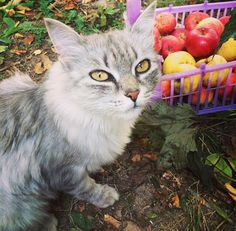 Elma, gülgiller familyasından parlak ve sert kabuklu bir meyvedir. Elmanın eski Türkçede adı renginin al yani kırmızıdan gelen 'alma' olarak kullanılırdı. İnsanlar için faydaları saymakla bitmeyen bu şifa dolusu meyveyi bizim her gün tüketmemizde sakınca yoktur. Peki bizim için bu kadar sağlıklı olan bir meyve kediler için de sağlıklı olabilir mi? Kediler elma yiyebilir mi? […] The post Kediler elma yiyebilir mi? appeared first on enpati.net. Cats, Animals, Gatos, Animales, Animaux, Animal, Cat, Animais, Kitty