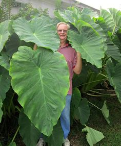 Featuring rich evergreen foliage, the Jack's Giant Elephant Ear is sure to make a dramatic statement in your garden. Purchase your Giant Taro bulbs today! Elephant Ear Bulbs, Elephant Ear Plant, Elephant Ears, Tropical Landscaping, Tropical Garden, Tropical Plants, Lush Garden, Landscaping Plants, Garden Bulbs