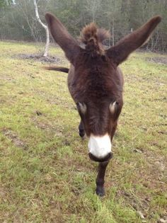 1000 images about asnos on pinterest donkeys baby donkey and miniature donkey for Craigslist hattiesburg farm and garden
