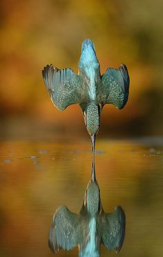 27th October 2015 Kingfisher Autumn dive | www.scottishphoto… | Flickr