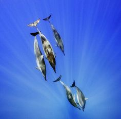 Photo by @BrianSkerry A pod of spinner dolphins dive into clear, blue water off Oahu, Hawaii. These animals hunt in the deep offshore waters at night, then return to shallower coastal regions in the morning to socialize and rest. Coverage from an upcoming story about dolphin minds in @natgeo. Photograph made under NMFS (NOAA) permit #17941. @thephotosociety @natgeocreative #dolphins #animalcognition #subal_underwater_housing